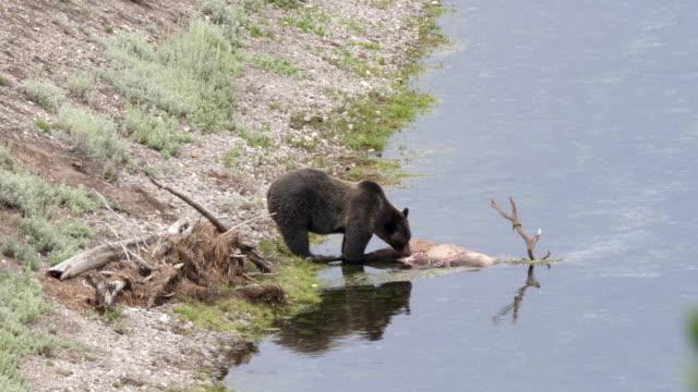 alimentarse-de-un-cadáver-de-alces-en-el-valle-de-hayden-de-yellowstone-Grizzly