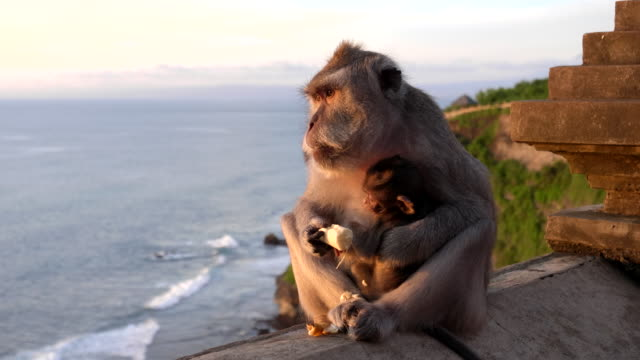 macaque-mother-and-baby-on-a-wall-eats-a-banana-at-uluwatu-temple-on-bali