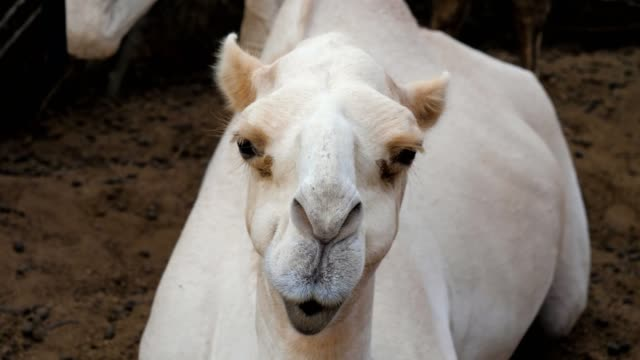 Close-Up-Of-A-Camel-s-Head-He-Looks-Into-The-Camera-And-Chews-Funny