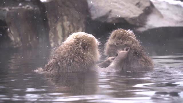 Japanese-macaque-or-snow-Japanese-monkey-with-onsen-at-snow-monkey-park-or-Jigokudani-Yaen-Koen-in-Nagano-Japan-during-the-winter-season