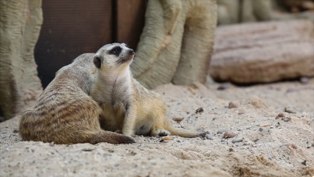 Family-of-meerkat