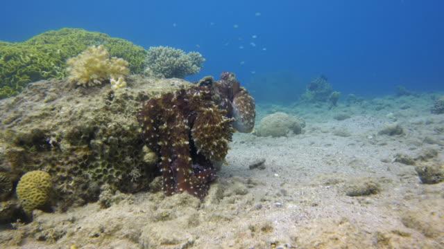 Octopus-Mating