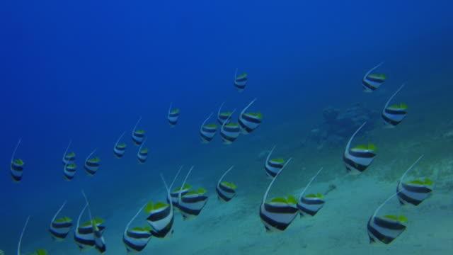 Wimpelfischen