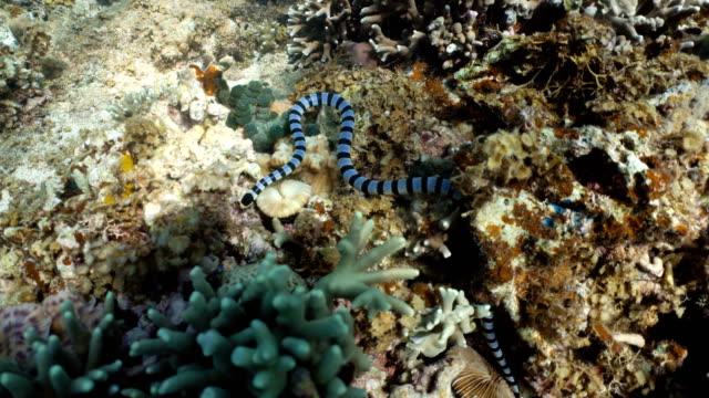 Banded-Sea-Snake