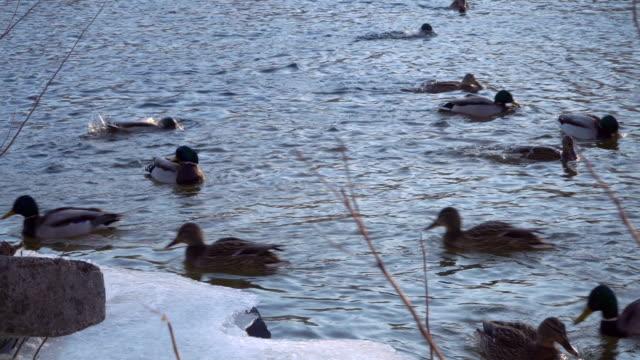 Wild-ducks-swim-near-the-shore-of-a-frozen