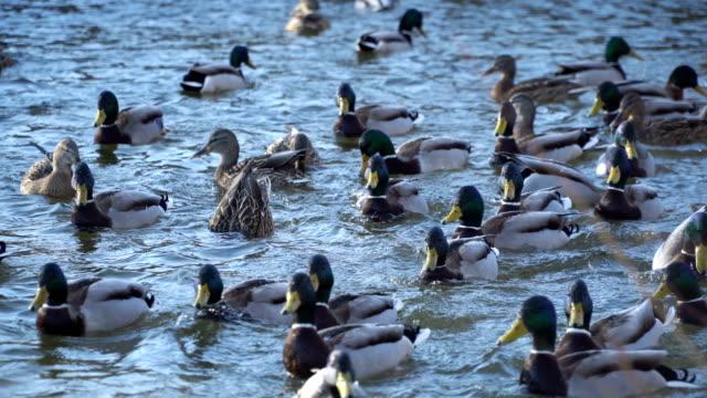 Patos-silvestres-en-el-agua