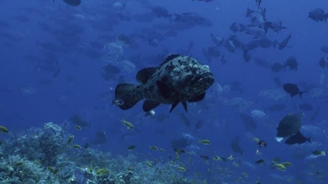 Huge-Grouper-in-teaming-coral-reef-landscape-Red-Sea