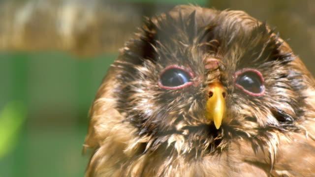 Único-marrón-búho-mirando-con-sus-ojos-brillo