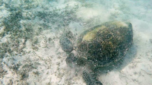 big-Adult-green-sea-turtle-(Chelonia-mydas)