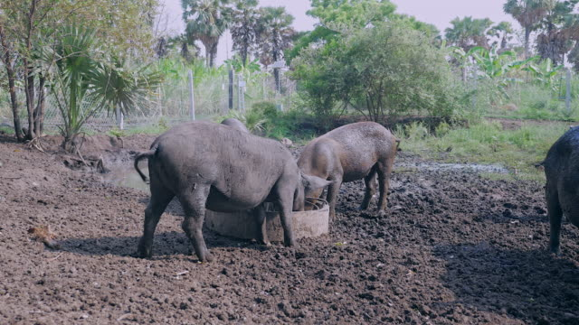 Drift-of-wild-pigs-eating-out-of-a-trough-and-wading-in-the-mud