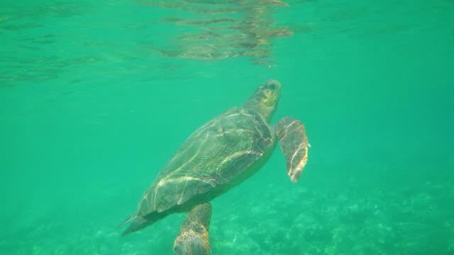 Gran-tortuga-nadando-en-el-mar-debajo-de-la-superficie-del-agua-