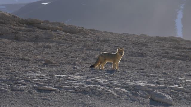salvaje-zorro-Culpeo-en-sur-de-Bolivia