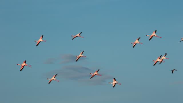 Lesser-Flamingo-phoenicopterus-minor-Group-in-Flight-Colony-at-Bogoria-Lake-in-Kenya-Slow-Motion-4K