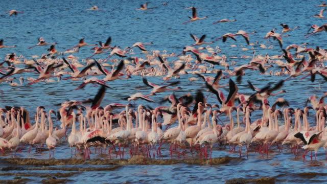Lesser-Flamingo-phoenicopterus-minor-Group-in-Flight-Colony-at-Bogoria-Lake-in-Kenya-Real-Time-4K