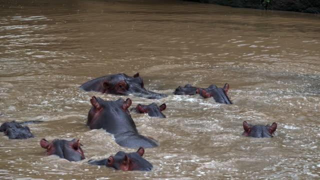 Hippopotamus-hippopotamus-amphibius-Group-standing-in-River-Masai-Mara-park-in-Kenya-Real-Time-4K