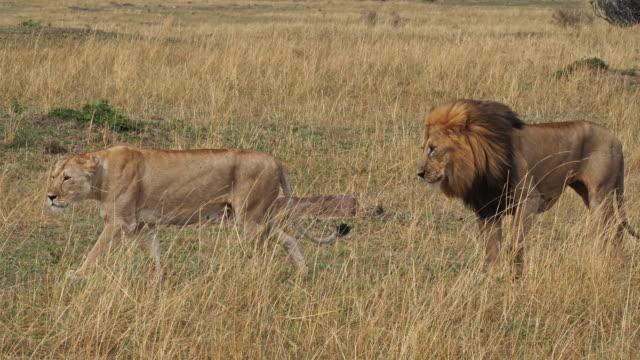 African-Lion-panthera-leo-Pair-Walking-Masai-Mara-Park-in-Kenya-Real-Time-4K