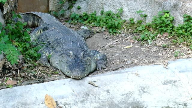 Lagarto-cocodrilo-descansando-en-el-suelo