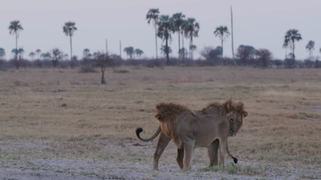 Magnificient-male-lions-in-greeting-ritual-Botswana