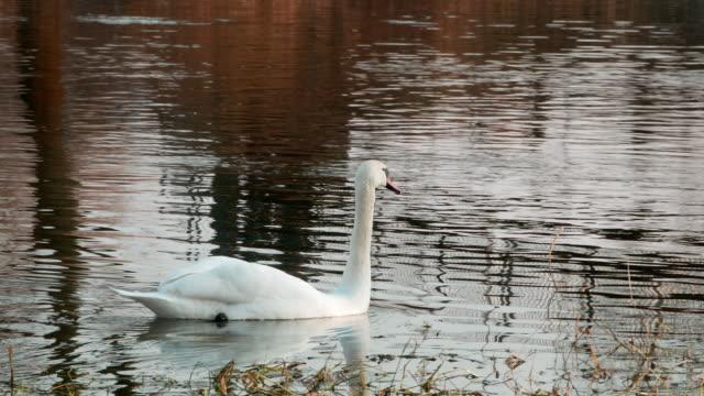 Swan-swiming-on-river-4k