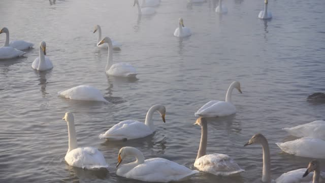 Swans-on-Altai-lake-Svetloe-in-the-evaporation-mist-at-evening-time-in-winter