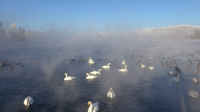 Swans-on-Altai-lake-Svetloe-in-the-evaporation-mist-at-morning-time-in-winter