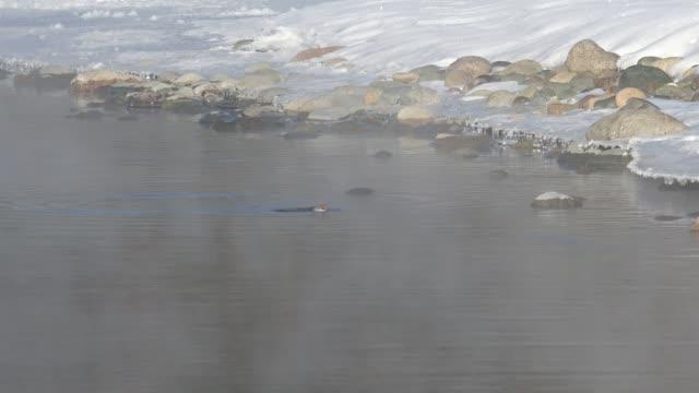 Bird-white-throated-dipper-Cinclus-cinclus-in-water-of-Altai-river-Katun-in-winter-time
