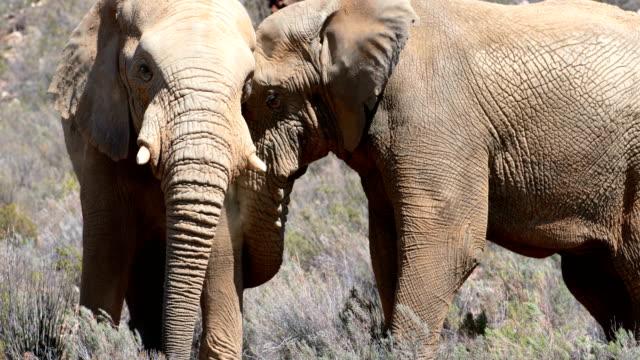 Wild-elephants-grazing-on-grassland-4k
