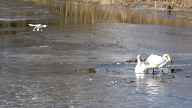 Drone-filming-pair-white-swans-Cygnus-olor-on-spring-ice