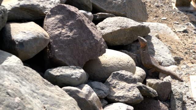 Lagarto-gigante-escondido-en-las-rocas-en-4-k-lenta