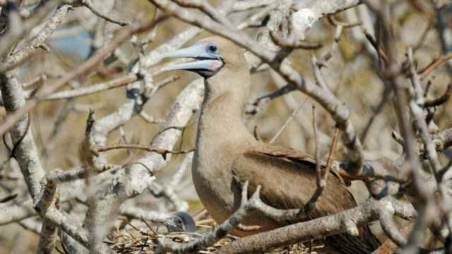 red-footed-booby-and-chick-on-nest-at-isla-genovesa-in-the-galapagos