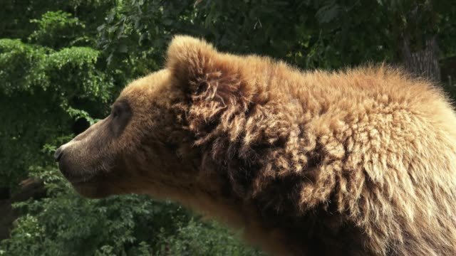 Porträt-der-Braunbär-(Ursus-Arctos-Beringianus)-Kamtschatka-Braunbär-