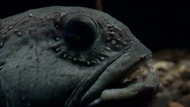 Catfish-Anarrhichthys-ocellatus-Seewolf-fish-atlantik-4K