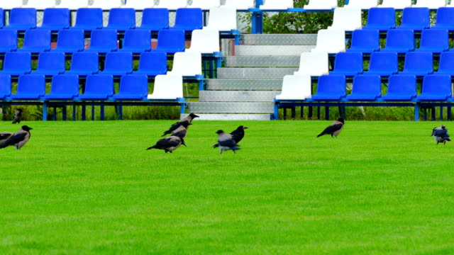 Crows-Sitting-on-Green-Lawn-of-Empty-Football-Field-With-Blue-Benches