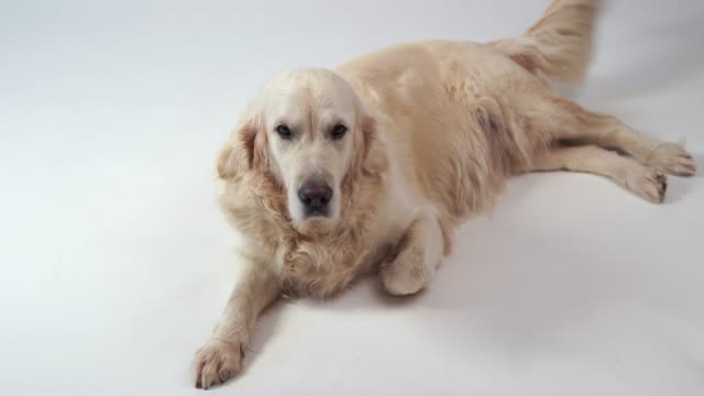 cute-dog---portrait-of-a-beautiful-golden-retriever-on-white-background