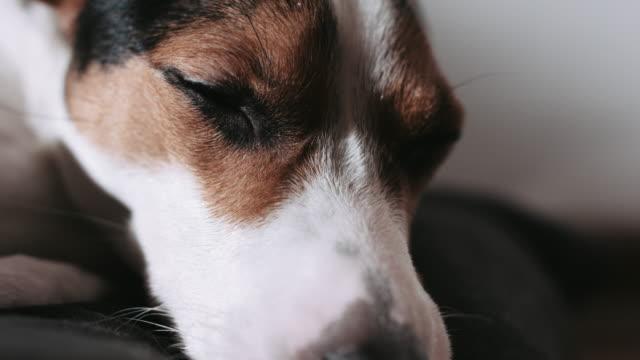 Jack-Russell-perro-pone-en-la-almohada-