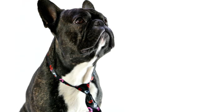 French-bulldog-licking-sitting-in-a-tie-on-a-white-background