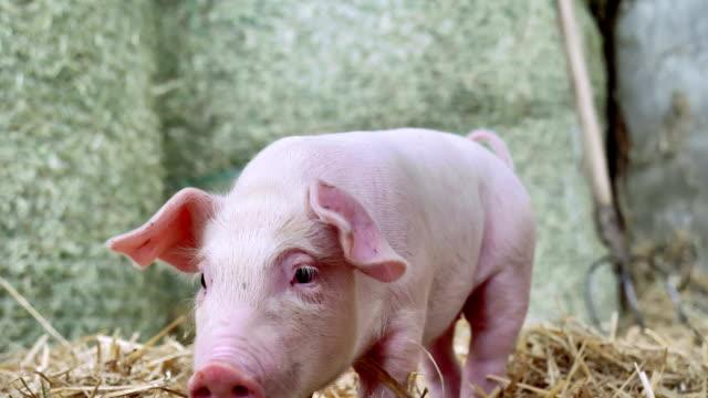 Un-lechón-recién-nacido-que-está-parado-en-una-paja-en-la-granja-concepto-de-salud-biológica-animal-amistad-amor-de-la-naturaleza-estilo-vegano-y-vegetariano-respeto-a-los-animales-