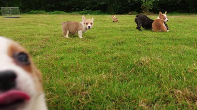 Precioso-cachorro-perro-jugando-al-aire-libre-en-el-césped-4k