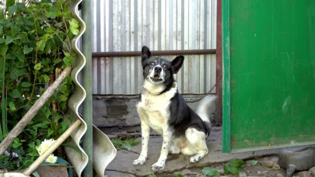 Perro-de-vigilancia-blanco-y-negro-se-ve-en-la-cámara-y-ladra-sentado-en-el-patio-de-una-cadena-