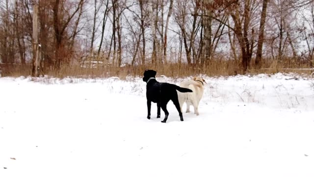 Two-labrador-dogs-playing-together