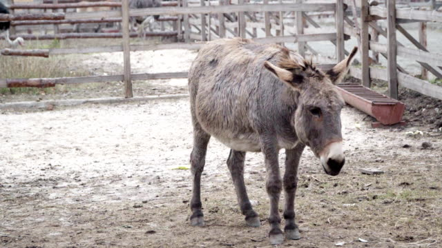Donkey-goes-to-corral-and-on-the-ground-looking-for-food