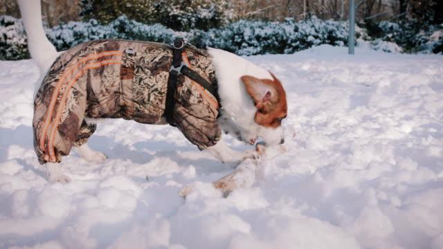 Perro-de-Jack-Russell-terrier-jugando-en-la-nieve