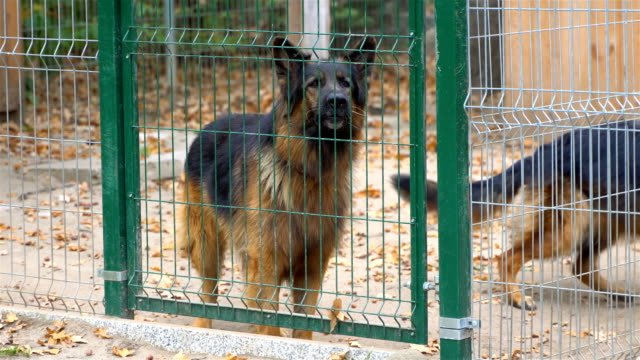 A-barking-angry-big-brown-and-dangerous-dog-walks-behind-a-fence-The-dog-is-barking-loudly-