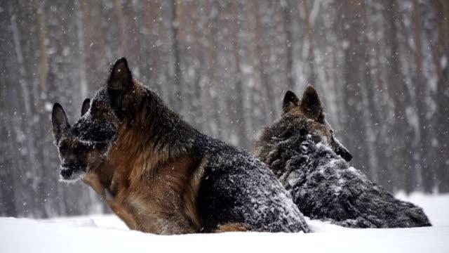 Sheepdog-Dogs-of-the-shepherd-breed-run-through-the-snow