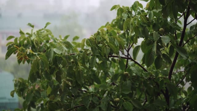 Green-tree-branches-under-the-falling-rain-
