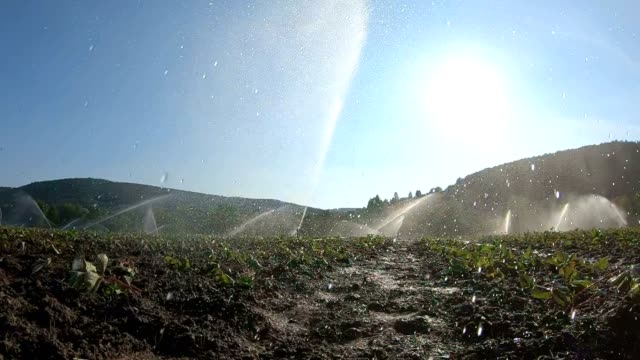 Strawberry-field-irrigation-due-to-drought-young-plants-slow-motion-Bavaria-Franconia-4K