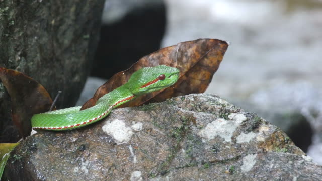 Green-pit-viper-resting-on-the-rocky-floor