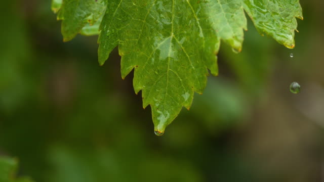 Rain-falling-From-Grapevine-s-Leaf-Normandy-Slow-motion-4K