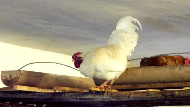 rooster-and-hens-get-ready-to-sleep-in-the-barn