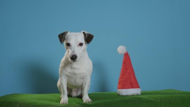 gato-perro-terrier-de-russell-con-sombrero-de-santa-sobre-fondo-turquesa